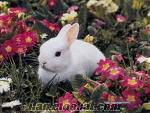 Damızlık Tavşanlar, kaliforniya, yenizellanda, çeşitler, yavru tavşan üretimi ve