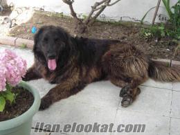 Çanakkalede kayıp köpek