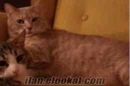 Göztepede kayıp kedi!!! Acil!!!