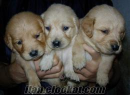 Bello Nina Köpek Çiftliği;Herkese bir köpek, 100 Tl den başlayan fiyatlar