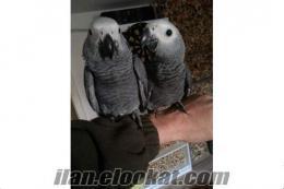 afrika gri papağan