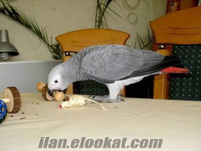 Yavru jako papağanları