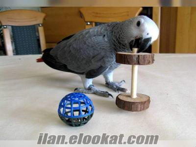 satılık jako papağan arıyorum en fazla 500 tl olsun yer d.bakır