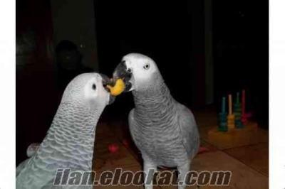 Jako gri papağan kırmızı kuyruk erkek