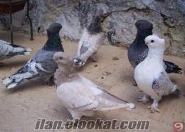 satılık basık tepe miski şebap vb. güvercin