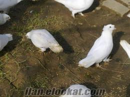 denizli horozu beyaz güvercin v.b.