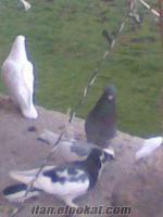 15 tane satlık güvercin