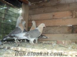 çanakkale de sabuni sarıkafa miski güvercin