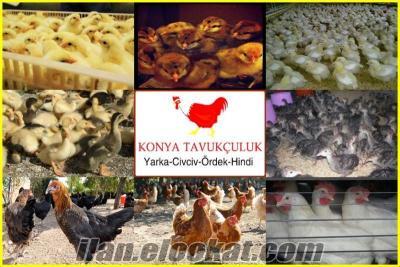 Civciv Yarka Tavuk Hindi Pekin Ördeği Tüm İllere Ücretsiz Kargo