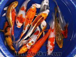 high grade koi balığı fiyatı