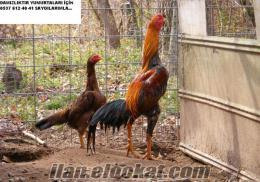 Satılık Hint Horozu Ve Kuluçlalık Yumurtaları Çiftlikten!!!