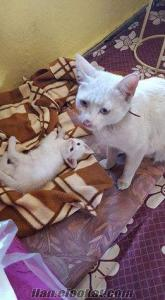 Isparta Yakaören ankara kedileri