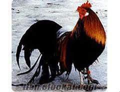 satılık süs tavuk ve horozları