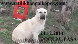 Sivas kangal yavrusu satışı fiyatları ve sahiplendirme