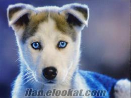 Beykozda ucuz fiyata yavru köpek arıyorum