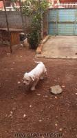 adanadan satılık albino boxer 2 aylık