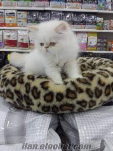 iran kedisi yavrusu orjinal red point kar beyaz devamı