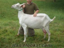 satılık sanem keçi