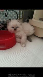 izmir beyaz yavru dişi erkek iran chinchilla himalayan kedi persian