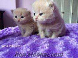 ankaradan iran-chıncılla melezi yavru kediler