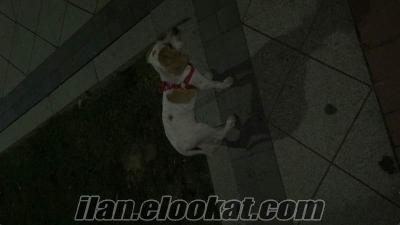 İstanbulda sahibinden pointer cinsi av köpeği 3 aylık satılık