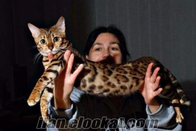 Ankara Bahçelievler bengal kedisi