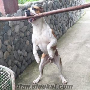 Erkek köpeğime eş arıyorum