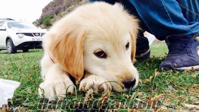 İstanbuldan sahibinden satılık golden yavru 3 aylık