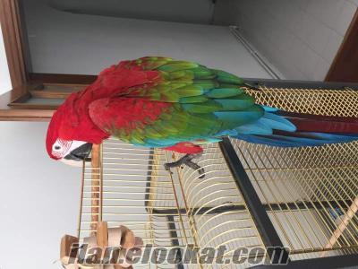 Satılık scarlet macaw