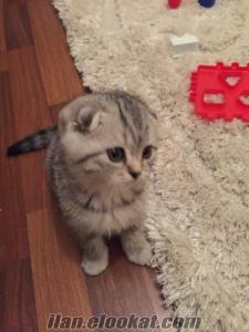 2 aylık scottish fold kedimi satıyorum