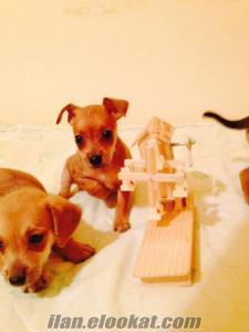 Minyatür Pincher yavruları İstanbul