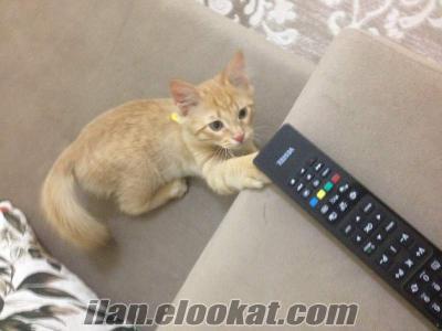 Keçiörende satılık kedi