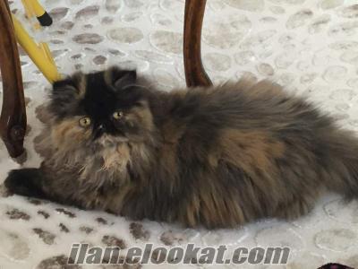 Sahibinden safkan dişi iran persian kedi