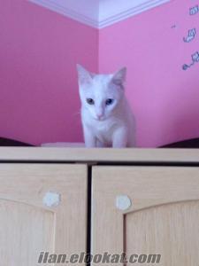 Erkek van kedisi arıyoruz