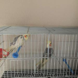 Manisa Koldere sultan papağanı