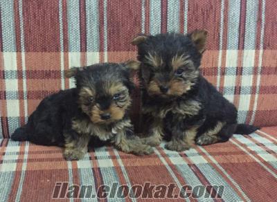 Orj Tea cup yorkshire terrier yavrularımız