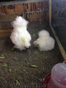 habeş tavuk horoz yumurta civciv