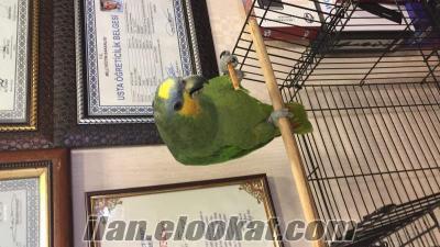 Elimde amozon papağanı bulunmaktadır fiyat 1000 takasta jakoyla olur acıklmada g
