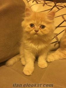 Persian yavru kedi