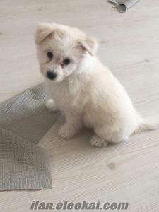 Acil 2, 5 aylık erkek terrier