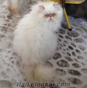 Sahibinden satılık safkan sıfır burun iran persian erkek kedi