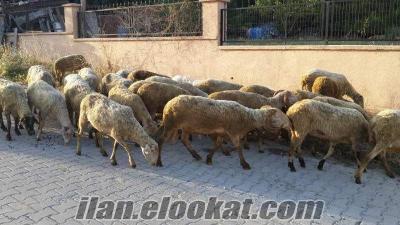 Sahibinden Satılık Damızlık Kuzulu Koyun Sürüsü