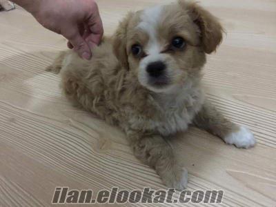 2, 5 aylık -saf kan- sıfır beden terrier