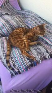 Bengal kızıl renkli çok özel dişi kedi yetişkin kısır değil