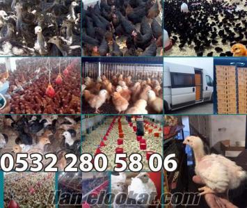 yumurtalık ve etlik civciv satımı alışı