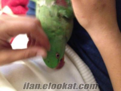 İstanbul Beykoz alexander papaganı