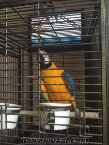 Ara Macaw Papağan