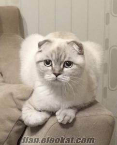 Dişi Scottish Fold kedimize eş arıyoruz ANKARA