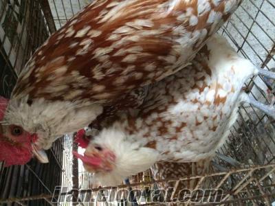 Yurt dışından en özel süs tavuğu kuluçkalık yumurta ve civciv