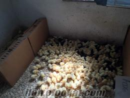 Köy etlik yumurta ördek civcvileri toptan